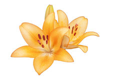一个橙黄百合的两朵花在白色背景的 免版税库存照片