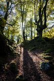 一个橡木森林在巴斯克国家 免版税库存图片