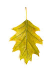 一个橡树的下落的秋天叶子在白色的 免版税图库摄影