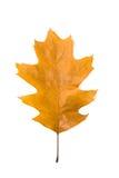 一个橡树的下落的秋天叶子在白色的 库存照片