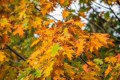 一个橡树的五颜六色的叶子在秋天 免版税库存图片