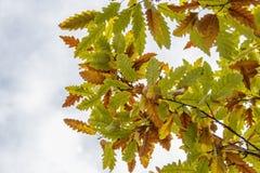 一个橡树的分支与一片黄绿色秋天叶子的 图库摄影