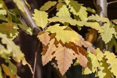 一个橡树的分支与一片黄色和棕色秋天叶子的 免版税库存图片