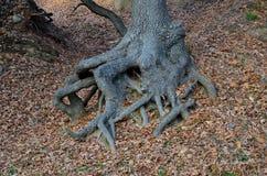 一个橡树的根的结节地面的表面上的 图库摄影