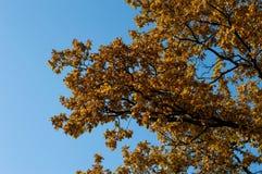 一个橡树的片段与金黄叶子的,秋天 免版税库存照片