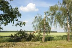 一个残破的桦树在夏天 库存图片