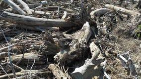 一个残破的森林的鸟瞰图在风暴以后的 在的飞行残破的树 股票录像