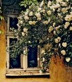 一个残破的窗口在一朵老被放弃的房子和白玫瑰里 图库摄影