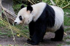 一个母大熊猫走与下来她的头 库存图片