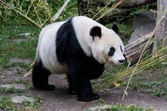 一个母大熊猫走与下来她的头 免版税库存图片