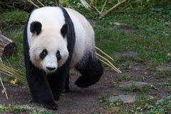 一个母大熊猫走与下来她的头 免版税图库摄影