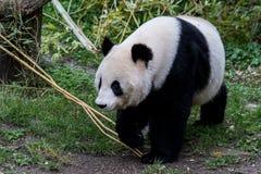 一个母大熊猫走与下来她的头 免版税库存照片