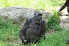一个母大猩猩坐并且谈话 图库摄影