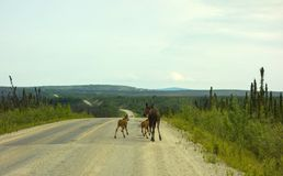 一个母牛麋和小牛在阿拉斯加 库存图片