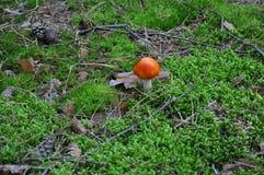 一个毒蘑菇 免版税库存图片