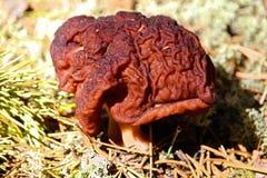 一个毒Gyromitra Esculenta蘑菇 免版税库存照片