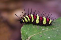 一个毛虫臭虫的图象在绿色叶子的 昆虫 免版税库存图片