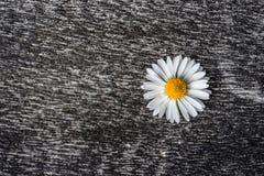 一个毛面上的延命菊花 库存图片