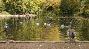 一个池塘在公园,鸭子 免版税库存图片