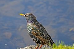 一个池塘的椋鸟科在寻找食物的公园 免版税库存图片