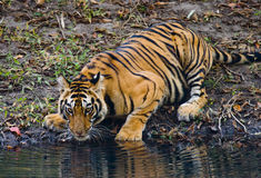 从一个池塘的狂放的孟加拉老虎饮用水在密林 印度 17 2010年bandhavgarh bandhavgarth地区大象印度madhya行军国家公园pradesh乘驾umaria 中央邦 免版税库存照片