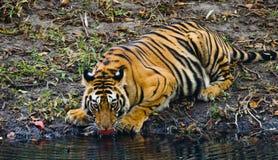 从一个池塘的狂放的孟加拉老虎饮用水在密林 印度 17 2010年bandhavgarh bandhavgarth地区大象印度madhya行军国家公园pradesh乘驾umaria 中央邦 免版税库存图片