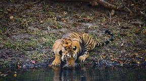 从一个池塘的狂放的孟加拉老虎饮用水在密林 印度 17 2010年bandhavgarh bandhavgarth地区大象印度madhya行军国家公园pradesh乘驾umaria 中央邦 图库摄影