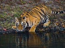从一个池塘的狂放的孟加拉老虎饮用水在密林 印度 17 2010年bandhavgarh bandhavgarth地区大象印度madhya行军国家公园pradesh乘驾umaria 中央邦 免版税图库摄影