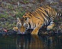从一个池塘的狂放的孟加拉老虎饮用水在密林 印度 17 2010年bandhavgarh bandhavgarth地区大象印度madhya行军国家公园pradesh乘驾umaria 中央邦 库存图片