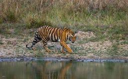 从一个池塘的狂放的孟加拉老虎饮用水在密林 印度 17 2010年bandhavgarh bandhavgarth地区大象印度madhya行军国家公园pradesh乘驾umaria 中央邦 库存照片