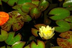 一个池塘的看法有生长在它的百合和叶子的 免版税库存图片