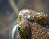 一个池蛙的头和眼睛-顶面下来透视的特写镜头详细的画象-在州长诺尔斯北W的状态森林里 库存图片