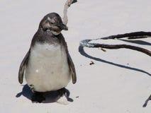 一个沙滩的非洲企鹅青少年在开普敦附近 库存图片