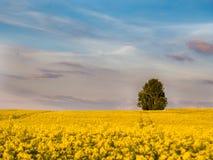 一个油菜籽领域在有树的春天在背景中 库存图片