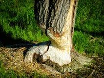 一个海狸的踪影在树的 免版税库存照片