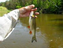一个淡水鳔形鱼 免版税库存照片