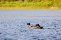 一个湖的共同的懒人日落的 免版税库存照片