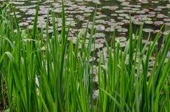 一个湖的绿色里德用lilly水 库存图片
