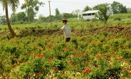 一个滑稽的稻草人在一个玫瑰园里 库存图片
