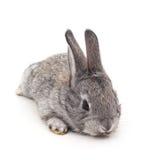 一个灰色兔宝宝 库存照片