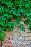 一个灰色石墙的背景有绿色常春藤的离开 免版税库存照片
