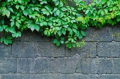 一个灰色石墙的背景有绿色常春藤的离开 图库摄影