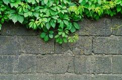 一个灰色石墙的背景有绿色常春藤的离开 免版税库存图片