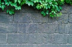 一个灰色石墙的背景有绿色常春藤的离开 免版税图库摄影