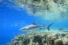 一个灰色礁石鲨鱼 库存照片