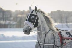 一个灰色马奥尔洛夫小跑步马品种的画象在行动的在跑马场 免版税图库摄影