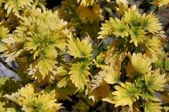 一个热带植物的美丽的黄色叶子 免版税库存图片