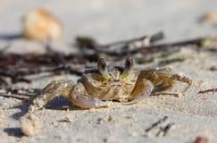 一个热带黄色加勒比螃蟹 免版税库存照片