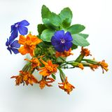 一个特殊场合概念的小礼物:微小的蓝色福禄考和橙色在白色背景隔绝的百日菊属花花束  免版税库存图片