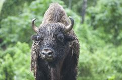 一个狂放的北美野牛的美丽的照片,牛在森林里 免版税库存图片